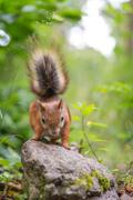 Squirrel observe - stock photo