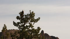 BALD EAGLE PERCHED IN TOP OF JUNIPER TREE LOOKS AROUND Stock Footage