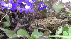 Pair common frogs Rana temporaria near violet flowers Stock Footage