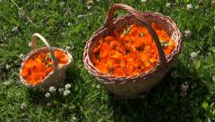 Mother and daughter small and big baskets  with marigold  medical flowers Stock Footage