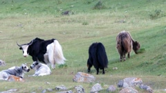 4k – Musk-oxs are grazing in mountains 04 - stock footage