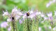Bumblebee on purple flower tufts Phacelia Stock Footage