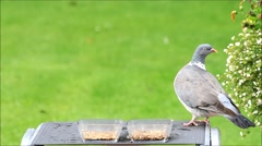 Bird seed in glass bowls, dove and sparrow, green background Stock Footage