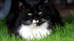 Male black white cat looking in the camera, closeup Stock Footage