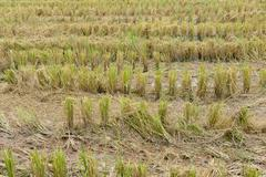 straw in rice paddy field - stock photo