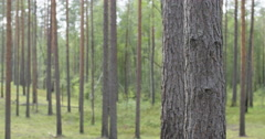Pine forest in warm summer day,slide movement Stock Footage