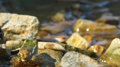 Green frog at the water's edge jumping in a pond Stock Footage