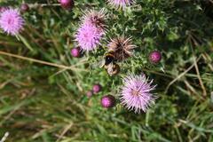 Bee on a Thistle Macro Stock Photos
