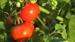 Red tomatoes on a branch Stock Footage