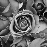sorrow rose - stock photo