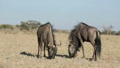 Wildebeest territorial display, Kalahari desert, South Africa Stock Footage