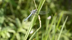 Keeled skimmer, Orthetrum coerulescens, rare, European dragonfly Stock Footage