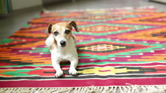 Dog lying on color rural rug Stock Footage