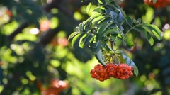 Rowan berries on a branch of a summer day Stock Footage