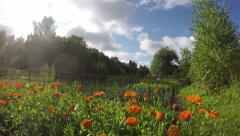 Pot marigold calendula in farm vegetable garden, timelapse 4K Stock Footage