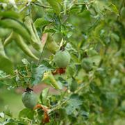 passion fruit in cultivation area agriculture - stock photo