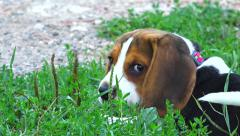 Beagle Puppy 7 - Playing in grass - slow motion -outdoor Stock Footage