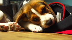Beagle Puppy 8 - Playing inside bag - indoor Stock Footage