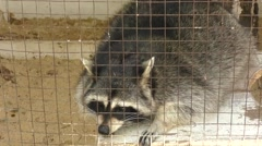 Raccoon at the farm Stock Footage