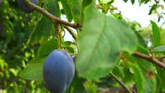 Fruit - Plum on tree - ready to be harvested Stock Footage