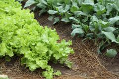 Stock Photo of green lettuce vegetable of hydroponic cultivation