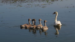 Swan family on the pond Stock Footage