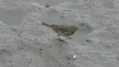 Eurasian Rock Pipit walks along a rocky shore and looks for food Stock Footage