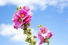 beautiful pink flower with blue sky - stock photo