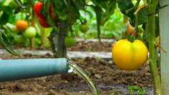 Vegetable garden 2 - Watering yellow tomato plant - Ground point of view Stock Footage