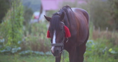 The horse is looking forward and then eating grass. Close-up. Stock Footage
