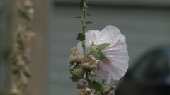 Rain Drops on Hollyhock Flower Stock Footage