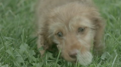 Puppy Eating Dandelion Stock Footage