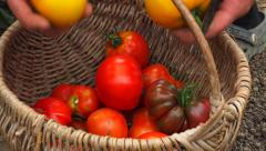 Vegetable garden 3 - Wicker basket full of tomatoes in garden Stock Footage