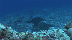 Eagle Rays Cruising on a Reef Stock Footage