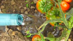 Vegetable garden 5 - watering red tomatoe plant close-up Stock Footage