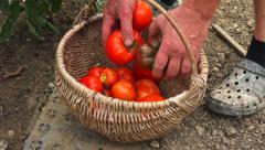 Vegetable garden 6 - Wicker basket full of red tomatoes in garden Stock Footage