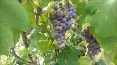 Grape vines growing in Minho region of Portugal Stock Footage