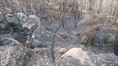Burned forest after a huge fire - stock footage