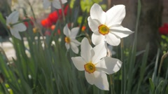 Narcissus poeticus flowers in pair slow moving on the wind 4K 2160p UltraHD f Stock Footage