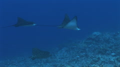 Group of Spotted Eagle Rays Stock Footage