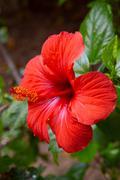 Closeup of Chinese Hibisci Rosae-Sinensis Flower Stock Photos
