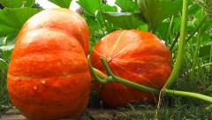 Vegetable garden 9 - Pumpkin on plant - Ground view Stock Footage
