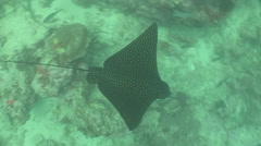 Spotted Eagle Ray Stock Footage