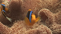Stock Video Footage of Clarks Anemone Fish