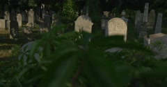 Old Tombstones at The Cemetery Green Leaves of Wild Grapes Close Up Burial Stock Footage