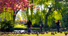 4K Child and Mother Hand Feeding Ducks at Pond in City Park, Cherry Tree Blossum - stock footage