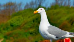 4K Seagull Bird Standing by Shore, Ocean Gull - stock footage