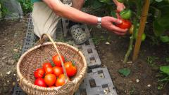 Vegetable garden 10 - Crop / harvest red tomatoe, droped in a wicker basket Arkistovideo