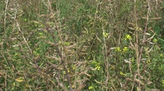 Mustard field, blooming + pods - full screen Stock Footage