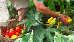 Vegetable garden 12 - Crop, harvest courgette (zucchini) droped in wicker basket Stock Footage